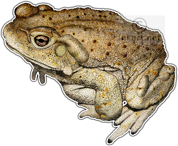toad animal png