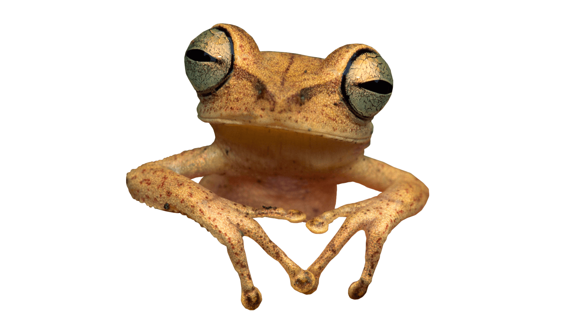 toad transparent