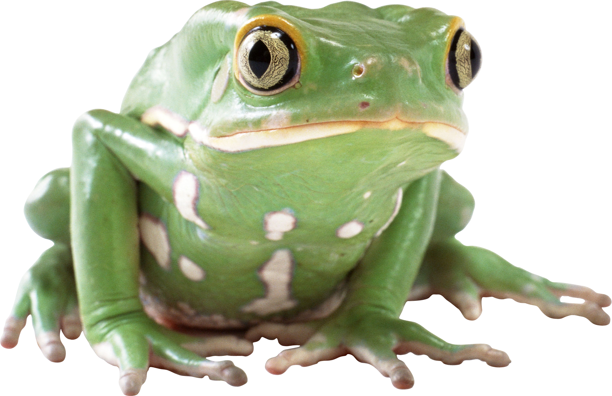 Toad transparent big. Frog png pictures free