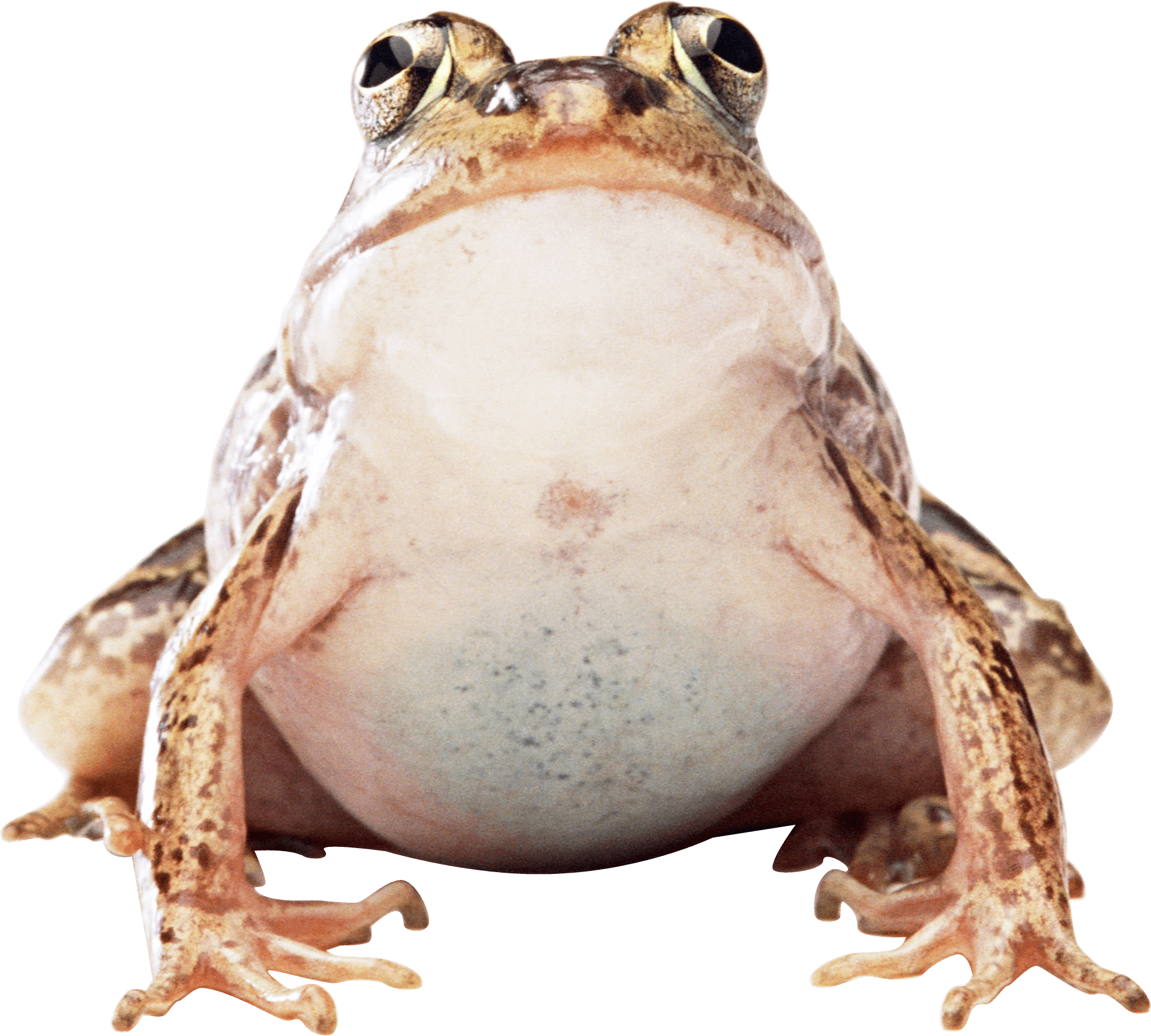 Toad transparent big. Frog png stickpng