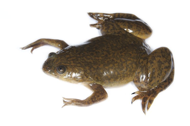 Toad transparent clawed. Frog development examples article