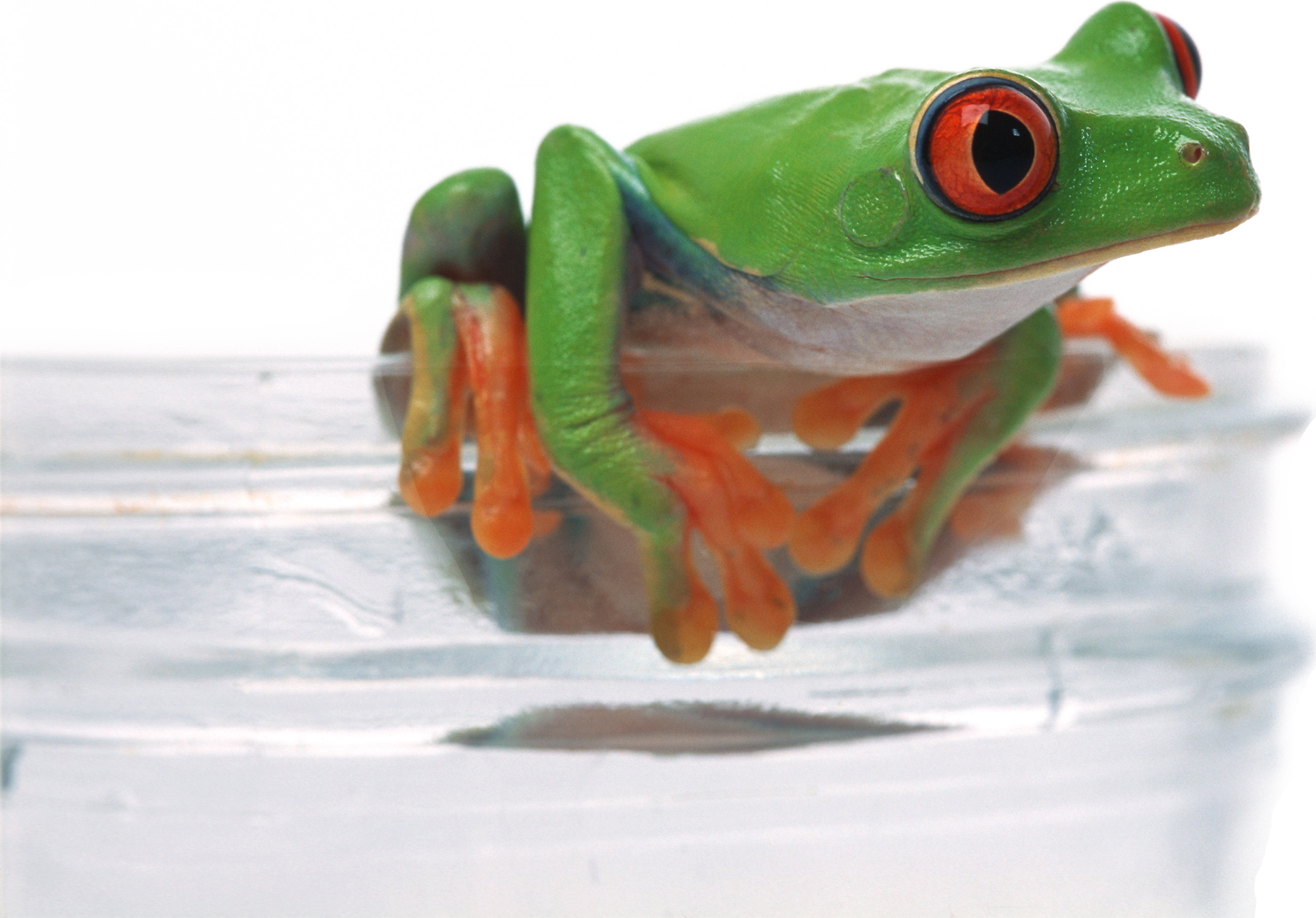 Toad transparent glass. Frog download desktop environment