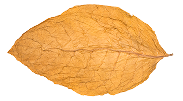 Tobacco clipart tobacco leaf. Cigars grown in direct