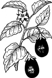 Tomato clipart brinjal plant. Free round eggplant and