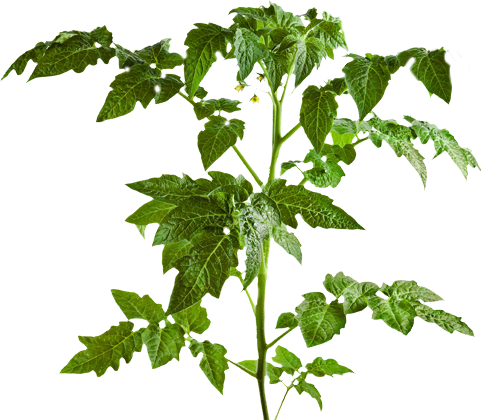 Tomato plant png.