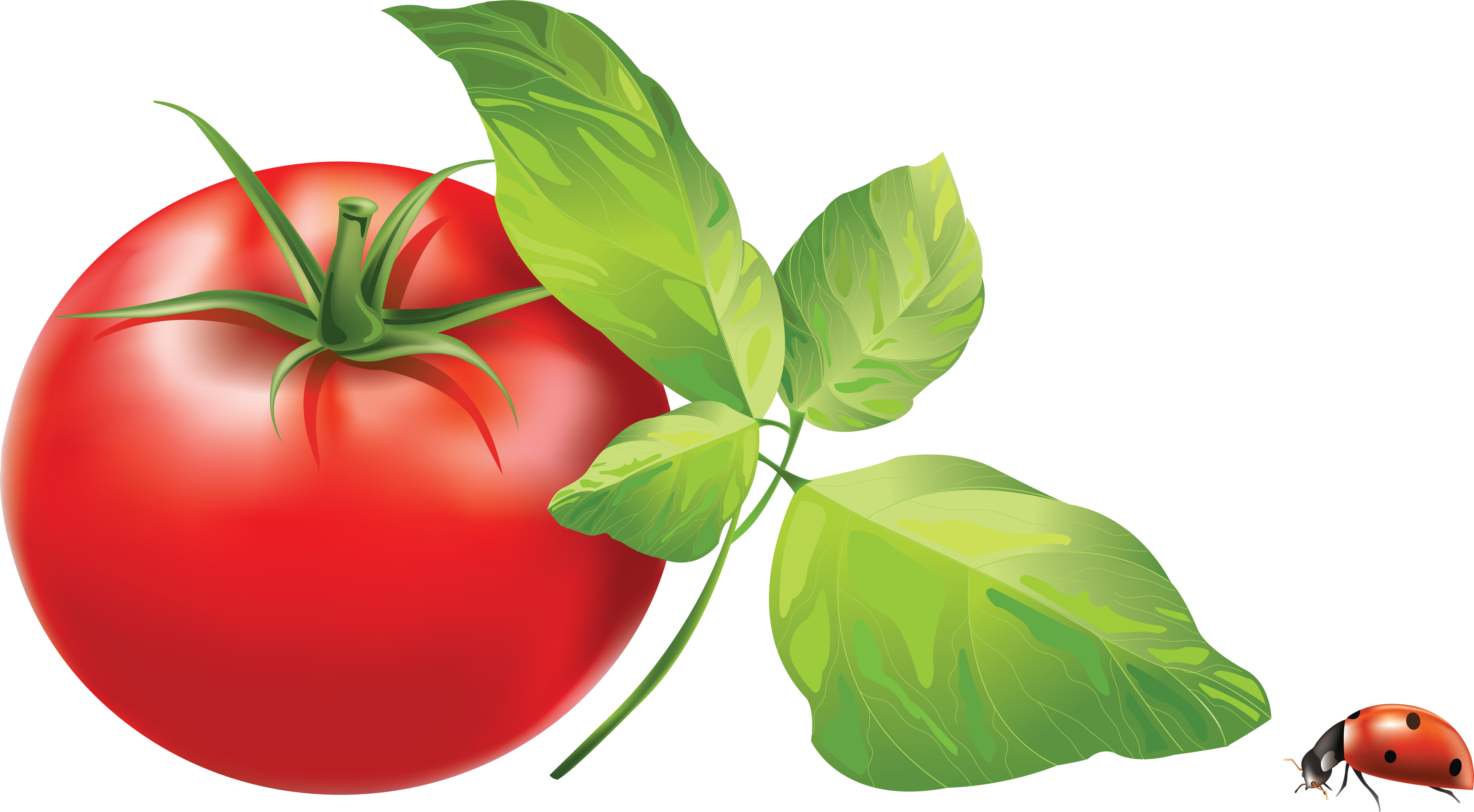 Tomato plant png. Red tomatoes image purepng