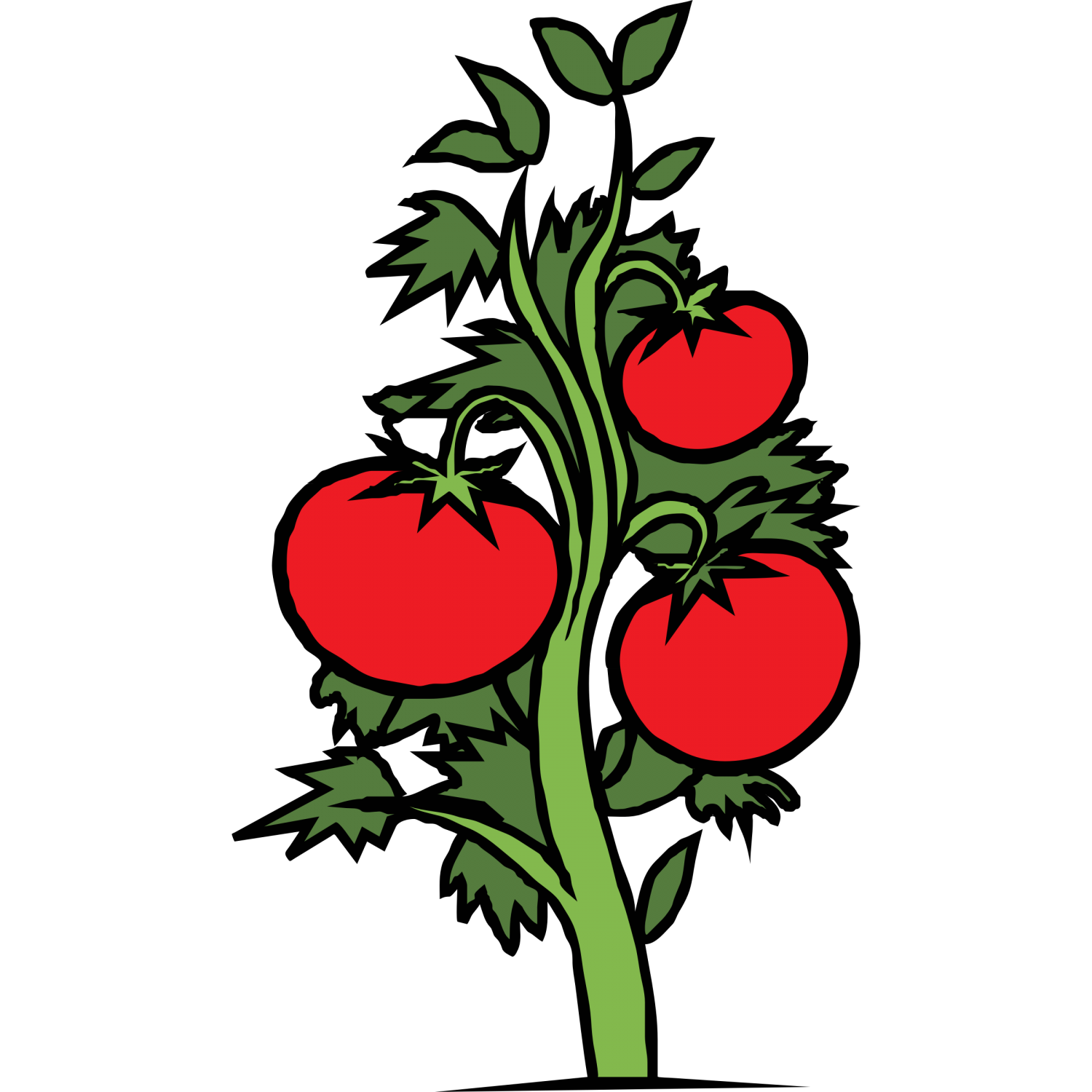 Tomatoes clipart coloured. Tomato plant drawing at