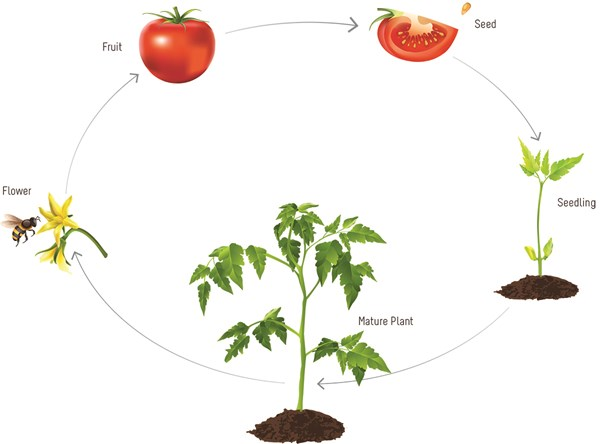 Tomatoes clipart tomato tree. Tomatosphere tomatosph re the