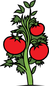 Tomatoes drawing step by. Tomato plant clip art