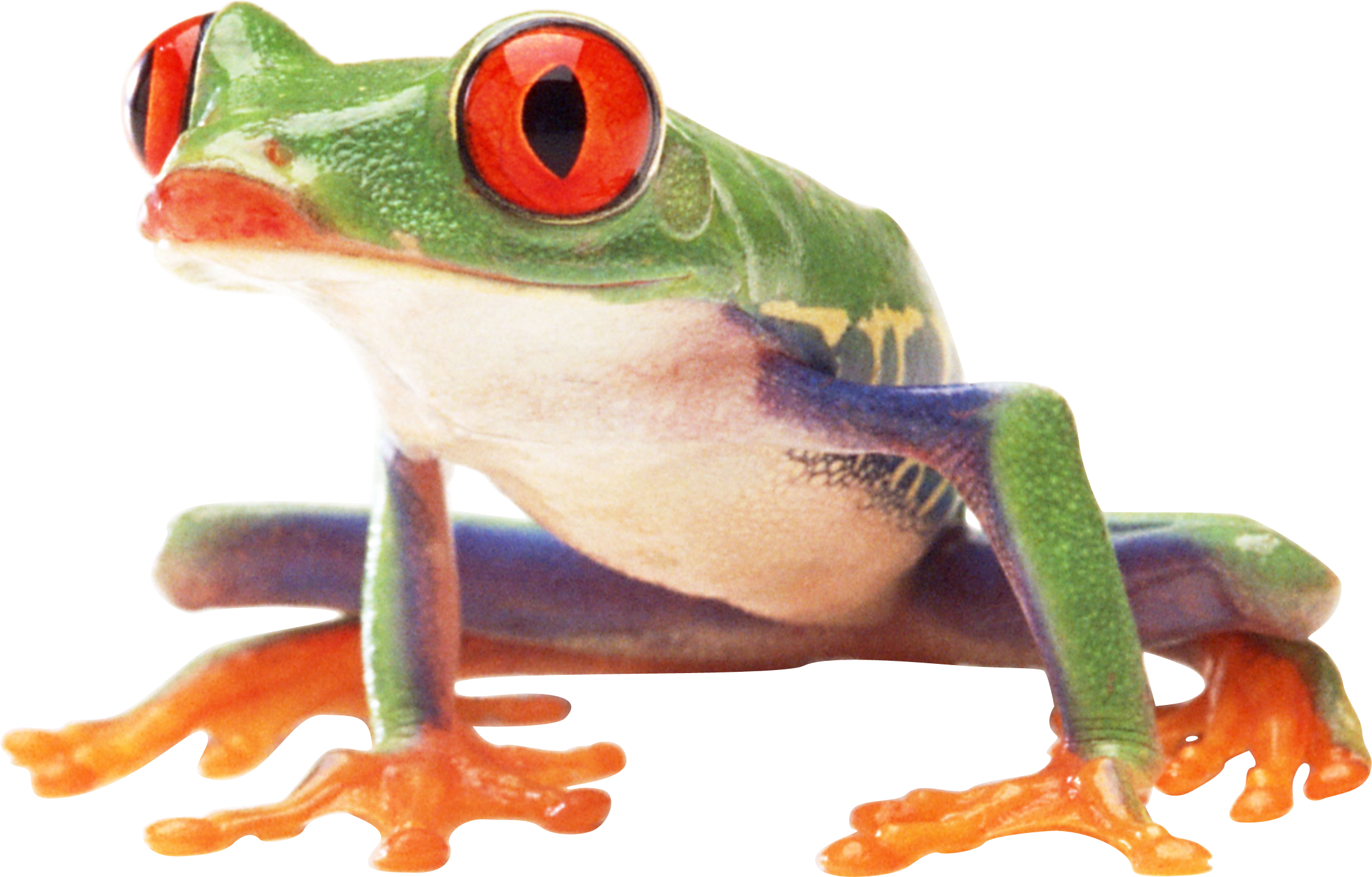 Drawing frogs rainforest frog. Png image