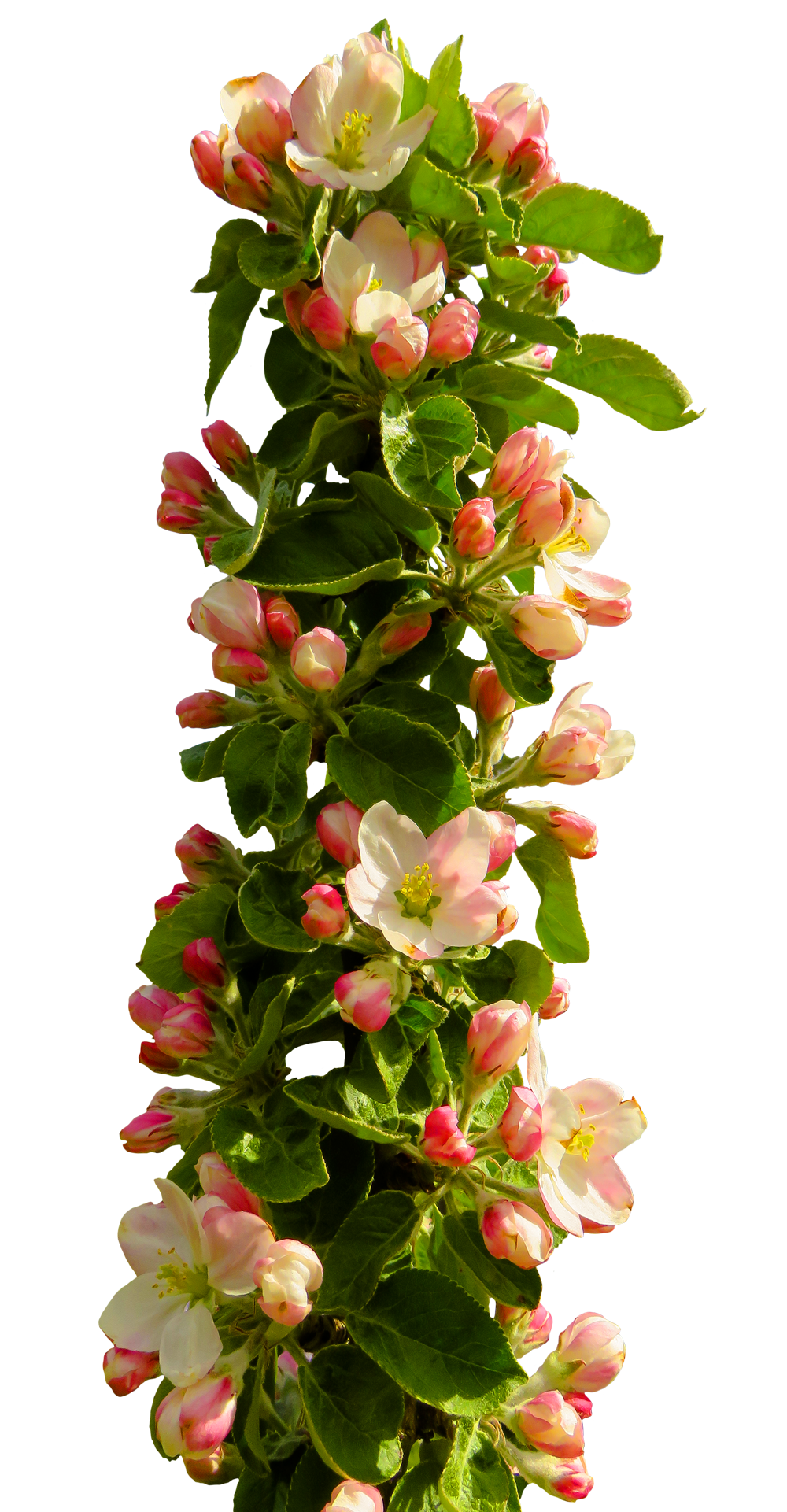 Top view flower png. Flowers images pngpix spring