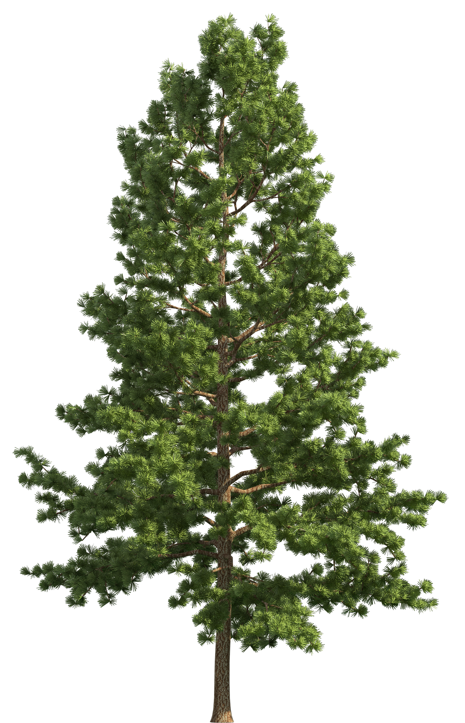 Realistic tree clip art. Pine trees png freeuse