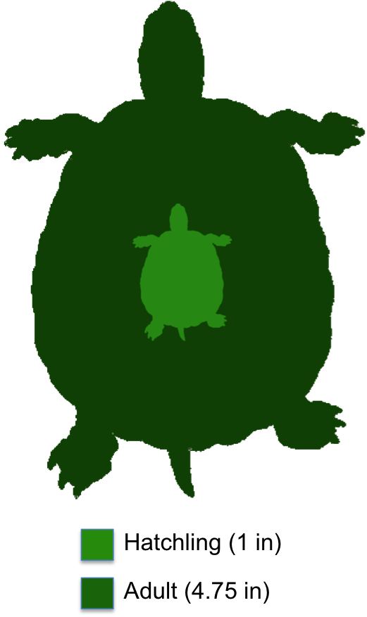 Tortoise clipart sluggish. Eastern mud turtle the