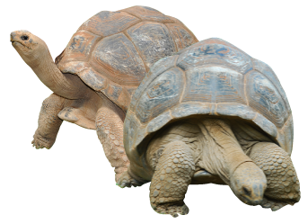 Tortoise vector galapagos. Png transparent images all