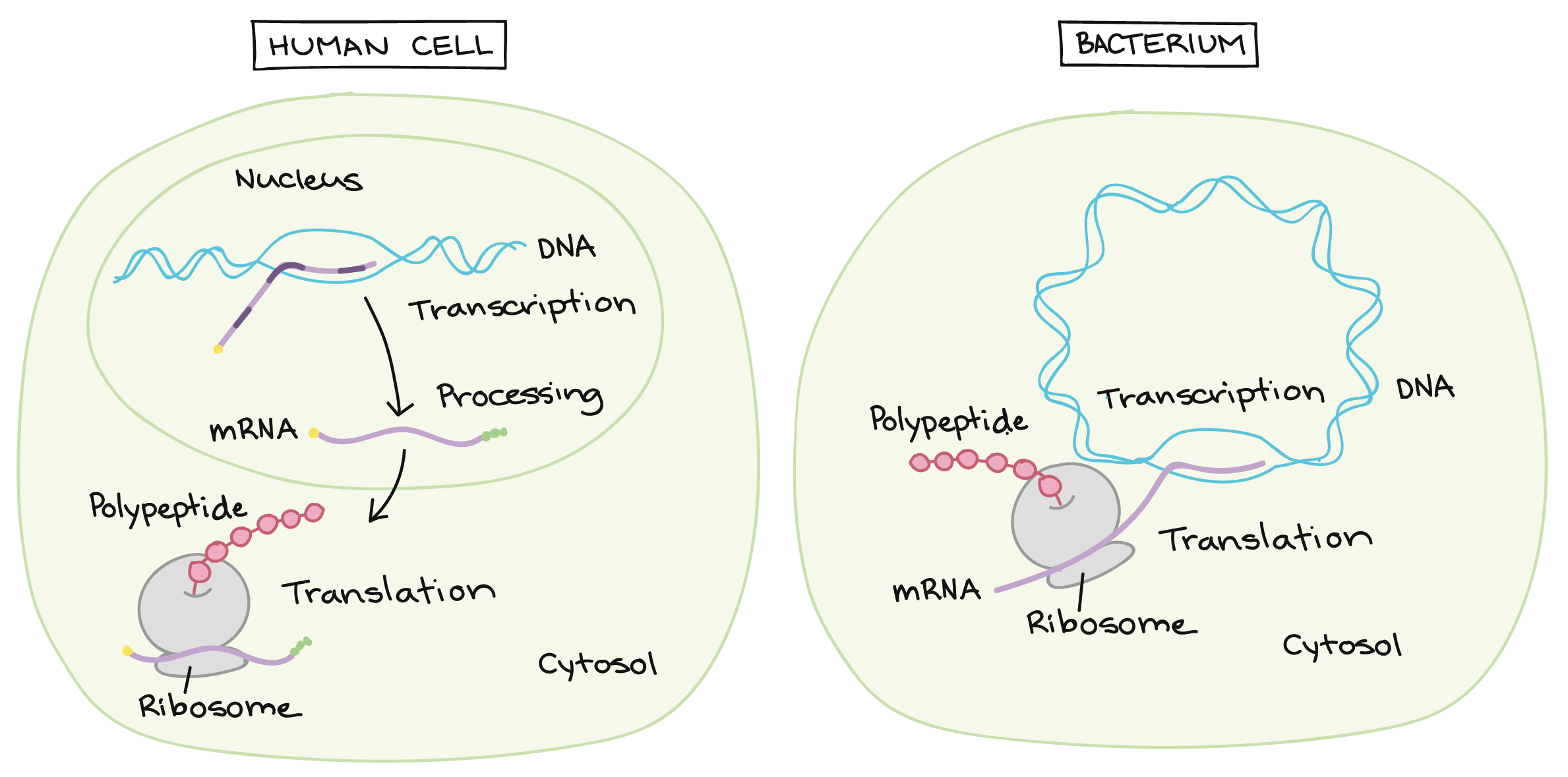Translate drawing. Dna replication and rna