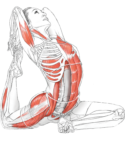 Translate drawing anatomy. Yoga with leslie kaminoff