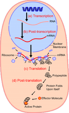 Translate drawing prokaryote diagram. Cell biology wikipedia growth