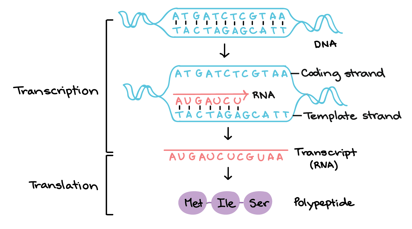 Translation drawing prokaryote diagram. Stages of transcription initiation