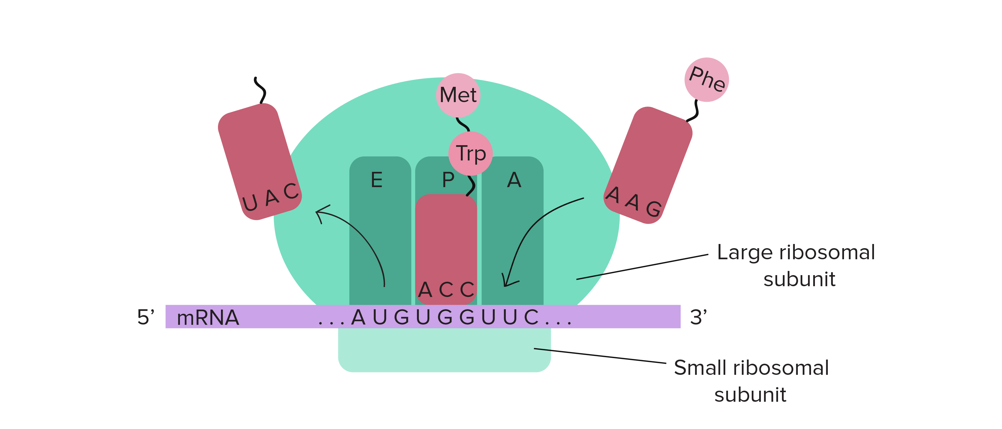 Translate drawing sites. Trnas and ribosomes article