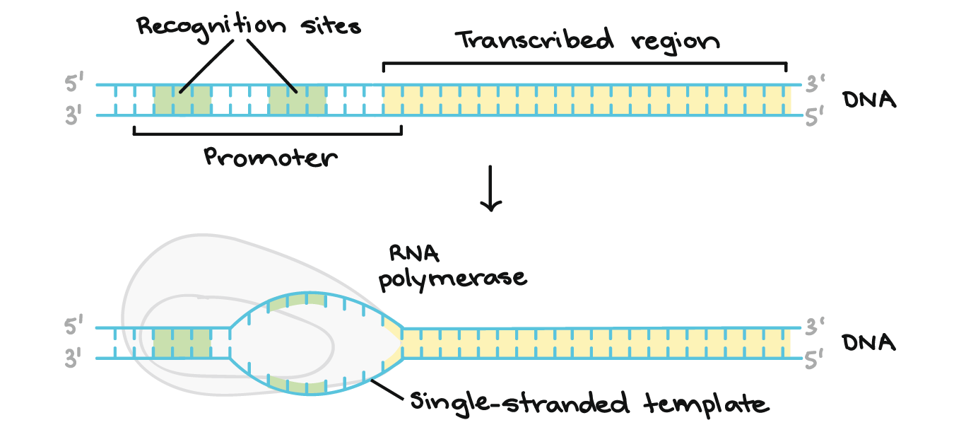 Translate drawing transcription. An overview of dna