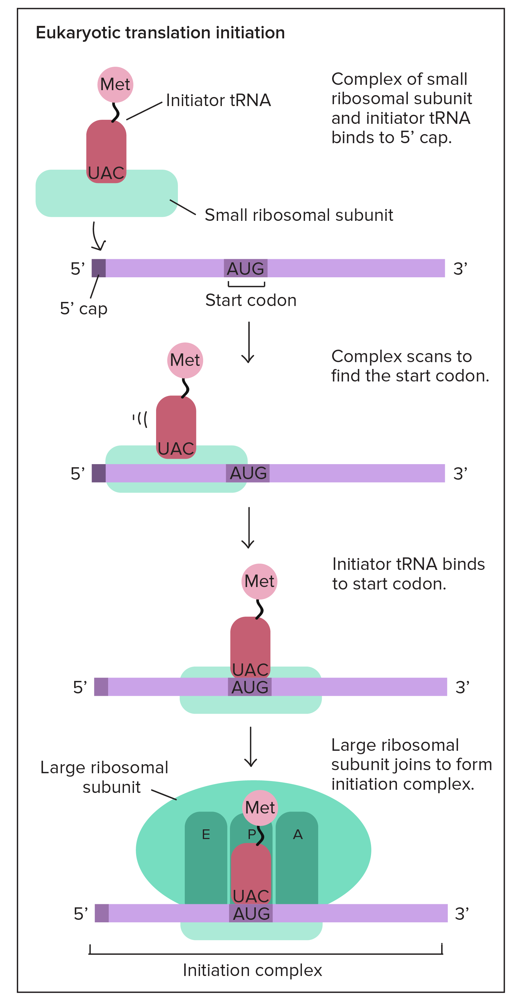 Translation drawing. Mrna to protein video
