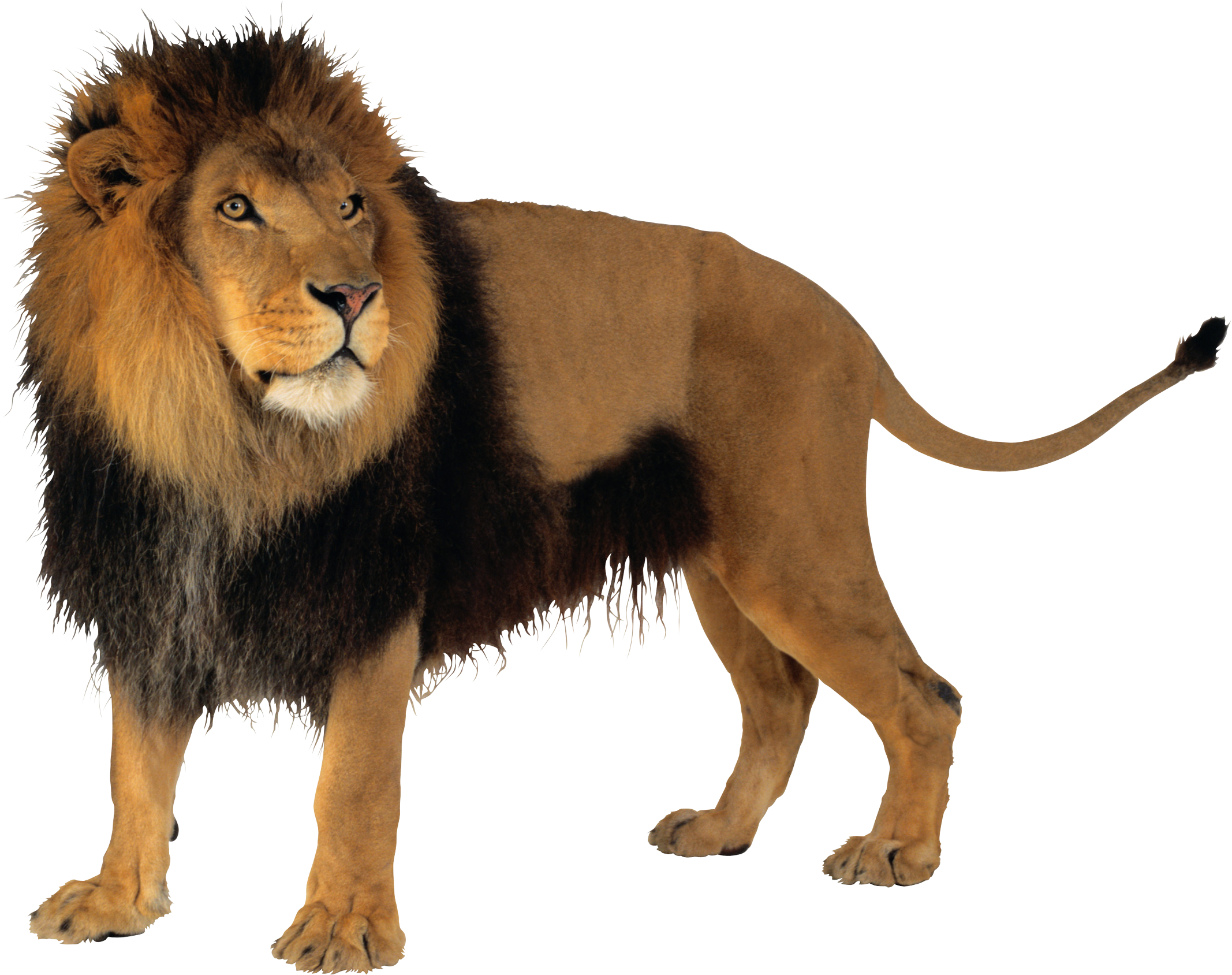 Lions vector lion tooth. Png images free download