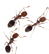 Transparent ant march. Pest control services apopka