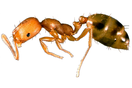 Transparent ant queen. Pharaoh ants basic facts