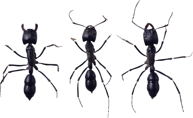 Transparent ant small. Png image purepng free