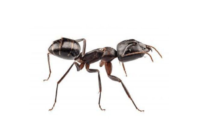 transparent ant clear
