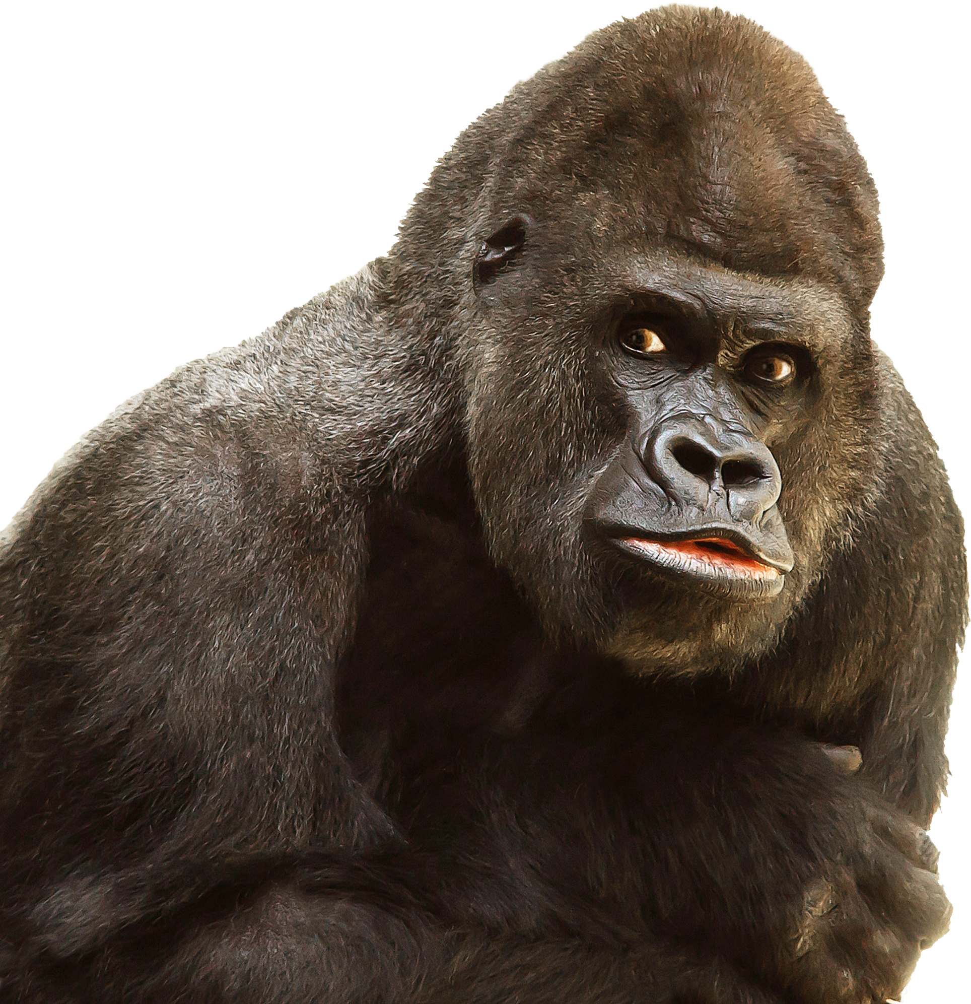 Transparent arms gorilla. Collection of clipart