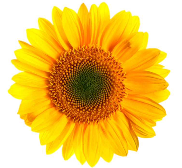 Transparent background png. Sunflower images sunfloer one