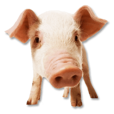 Transparent bacon micro pig. Free download face png