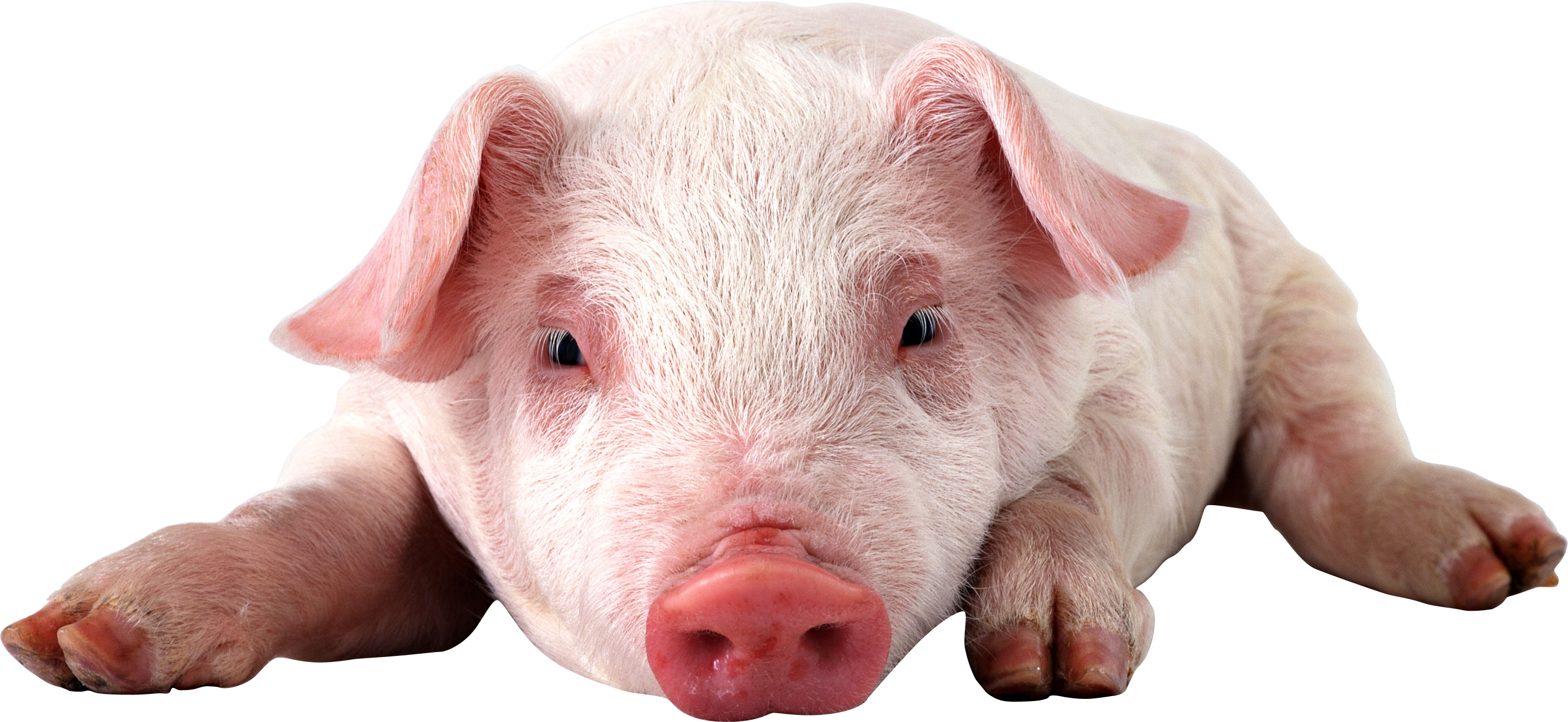 Transparent bacon micro pig. Pin by png images