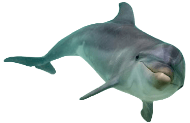 Transparent bg dolphin. Front view png stickpng