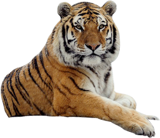Transparent bg tiger. Tigers gallery isolated stock