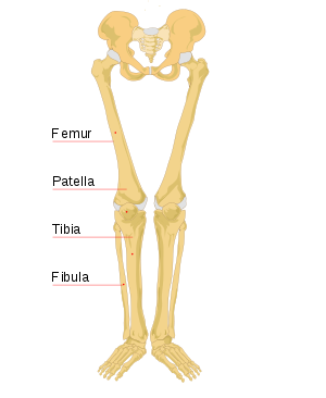 Transparent bone leg. Wikipedia