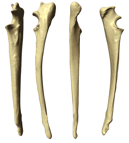 Transparent bone ulna. Dog thoracic limb views