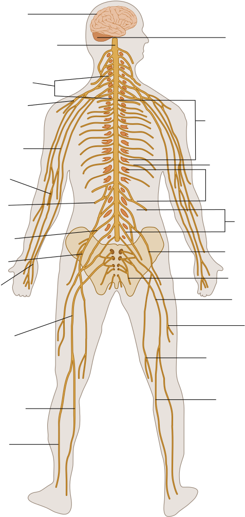 Transparent bone unlabeled. Download hd the human