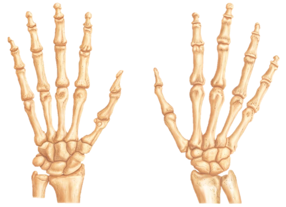 Transparent bone unlabeled. Metacarpals phalanges by sovotevo