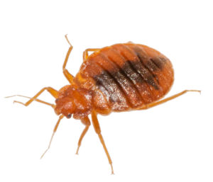 Transparent bugs almost. Bed bug treatment control
