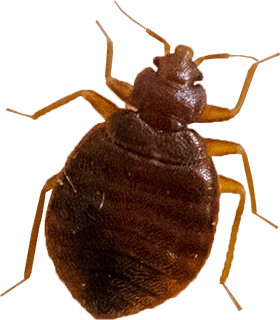 vector parasite bed bug