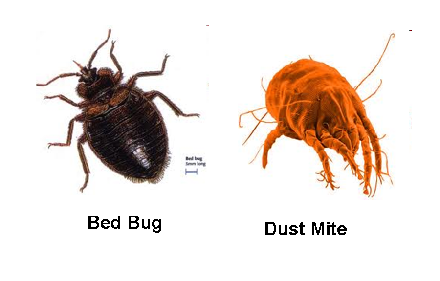 Parasitism drawing dust mite. Mites vs bed bugs