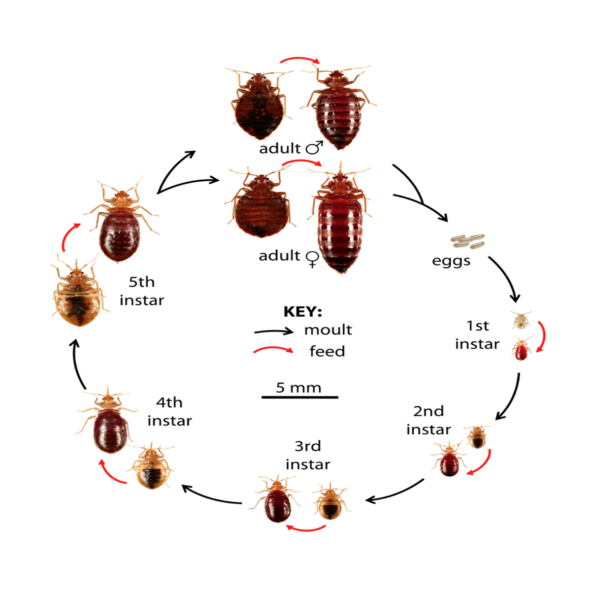 Transparent bugs have not fed. Gric deq bed bug