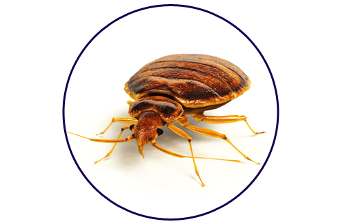 Transparent bugs have not fed. Bed pennsylvania pest control