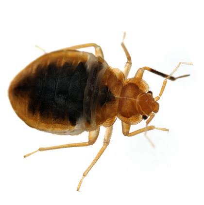 Vector parasite bed bug. Bugs control and treatment