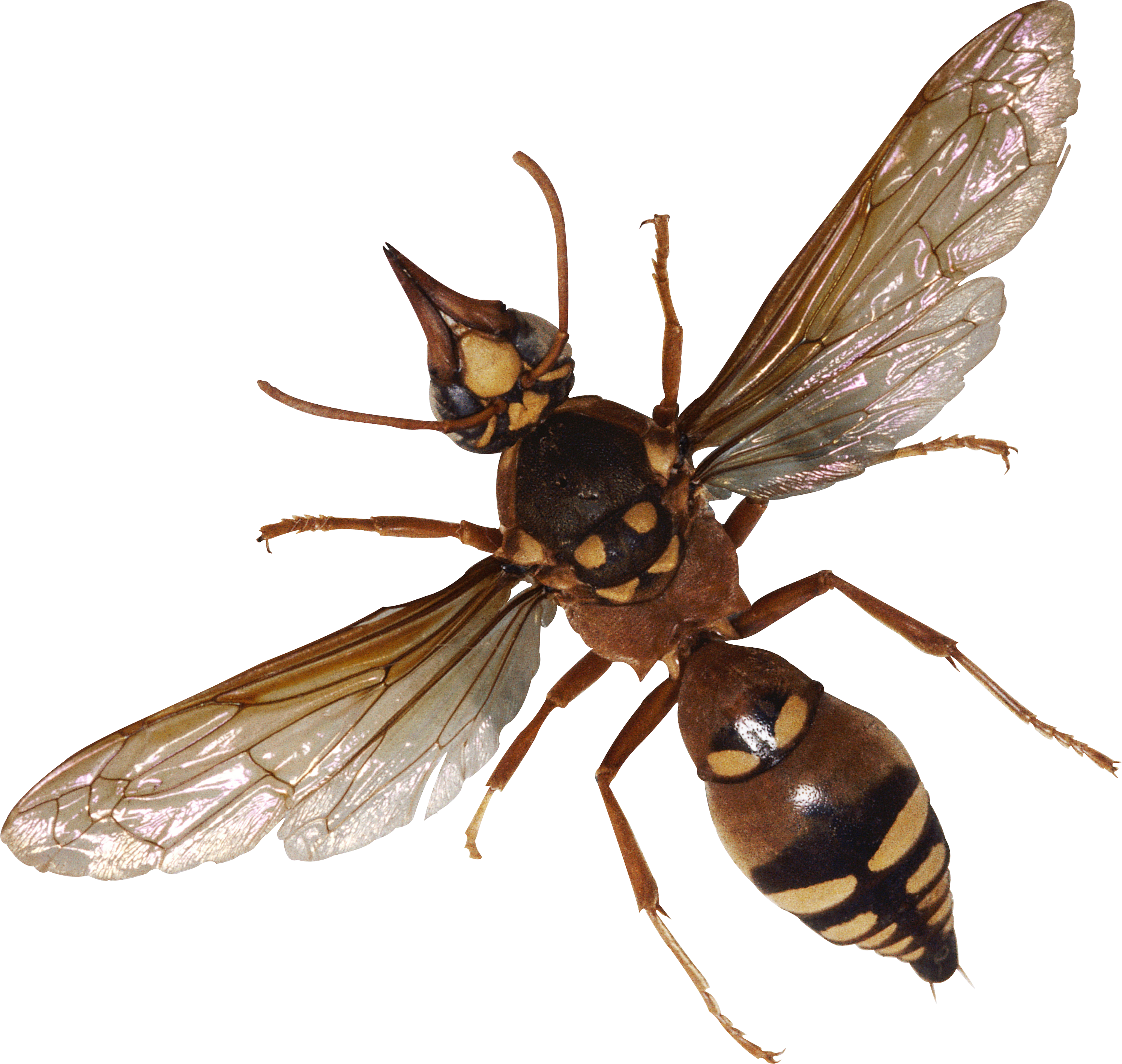 Mosquito clipart dead mosquito. Png insects and bugs