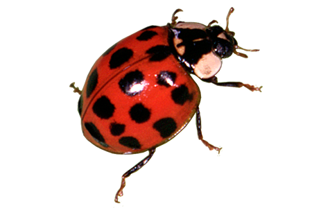 Transparent bugs ladybug. Learn about ladybugs identification