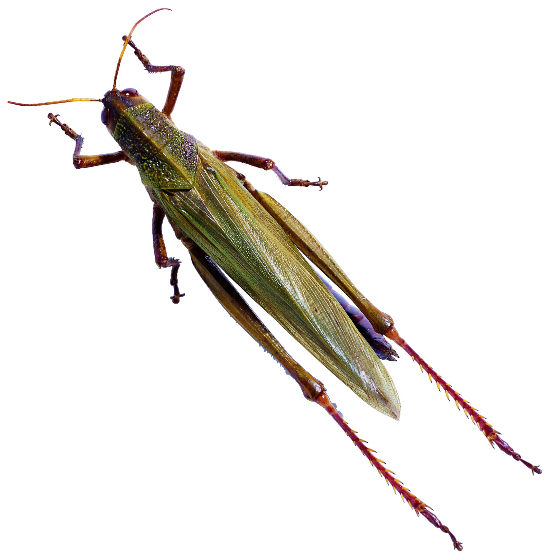 Transparent bugs locust. Insect caelifera butterfly reptile