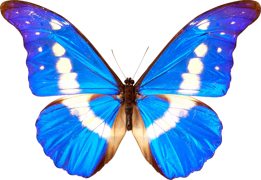 Transparent moth bug. Blue butterfly insect wings